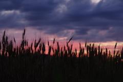 夕焼けと麦