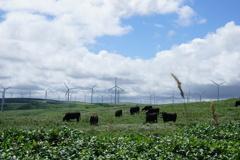 牛たちと風車