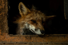 絵のような、生狐