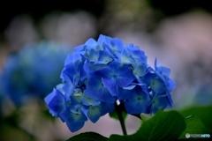 梅雨時はブルー
