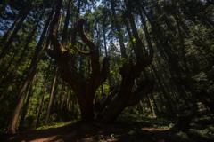 株杉の森3