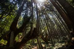 株杉の森2