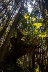 株杉の森1