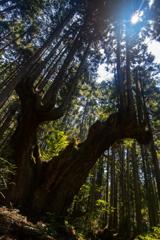 株杉の森4