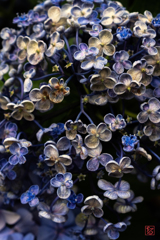 白山神社 紫陽花
