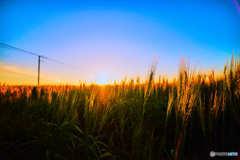 日沈みゆく麦畑。