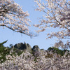 屏風岩と桜