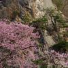 満開の桜と岩と松