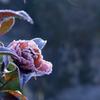 凍てついた山茶花