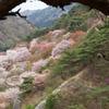 松の下からのぞき見る矢祭山の桜と三ッ葉つつじ