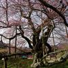 迫り来る桜