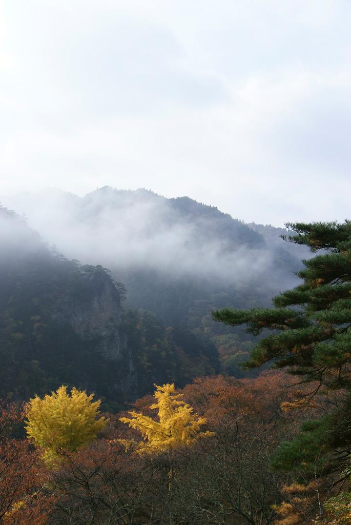 朝霧に包まれる乙女ヶ越と輝くイチョウ(縦)