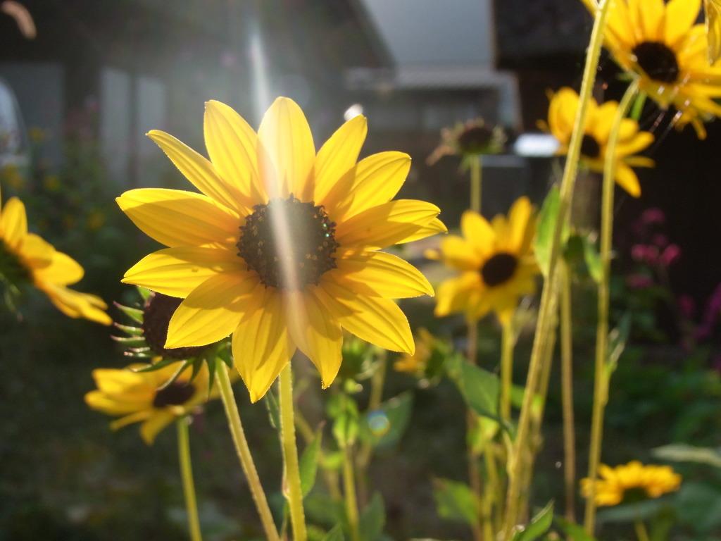 ひまわり的な花