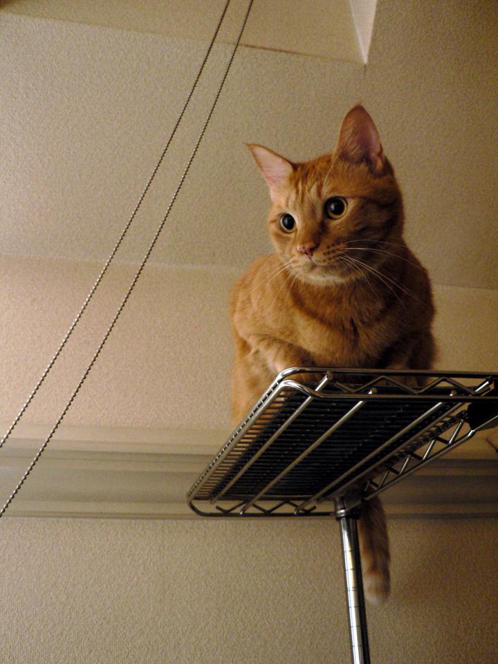 キャットタワーが使えない重さ〜 トラ