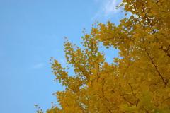 空に溶ける銀杏