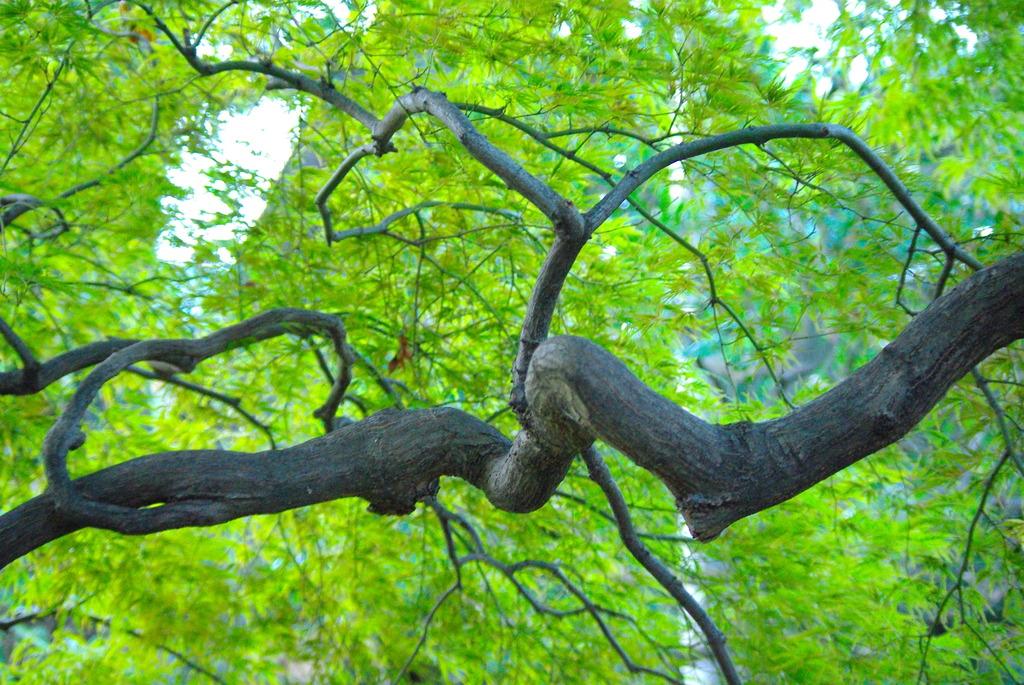 もみじの木