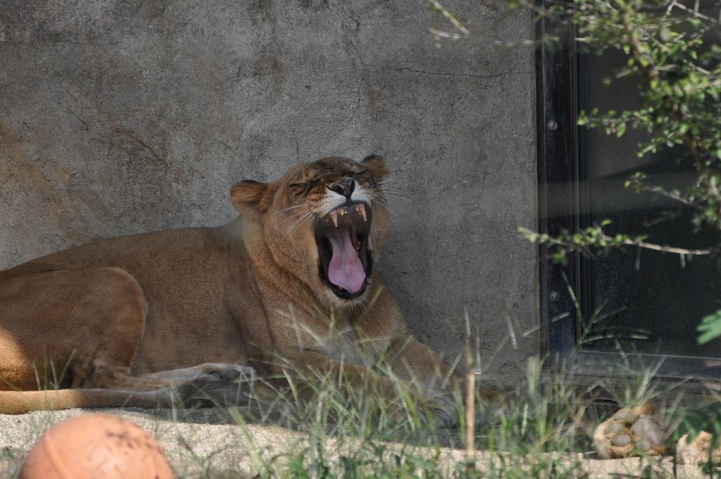 ライオン(雌)