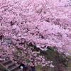 桜の下、休憩中