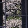 窓に映りこむ桜