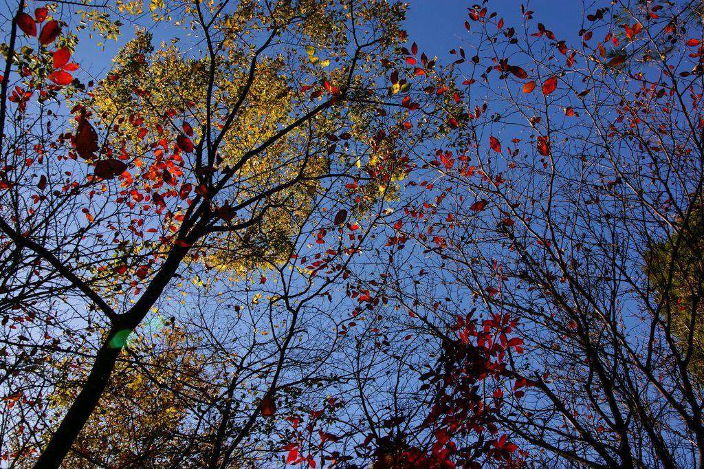 青空に浮かぶ紅葉1