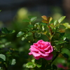 記念日の薔薇