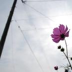 NIKON NIKON D60で撮影した風景(秋桜と太陽と電柱)の写真(画像)