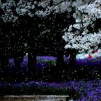 NIKON NIKON D60で撮影した風景(桜の雨)の写真(画像)