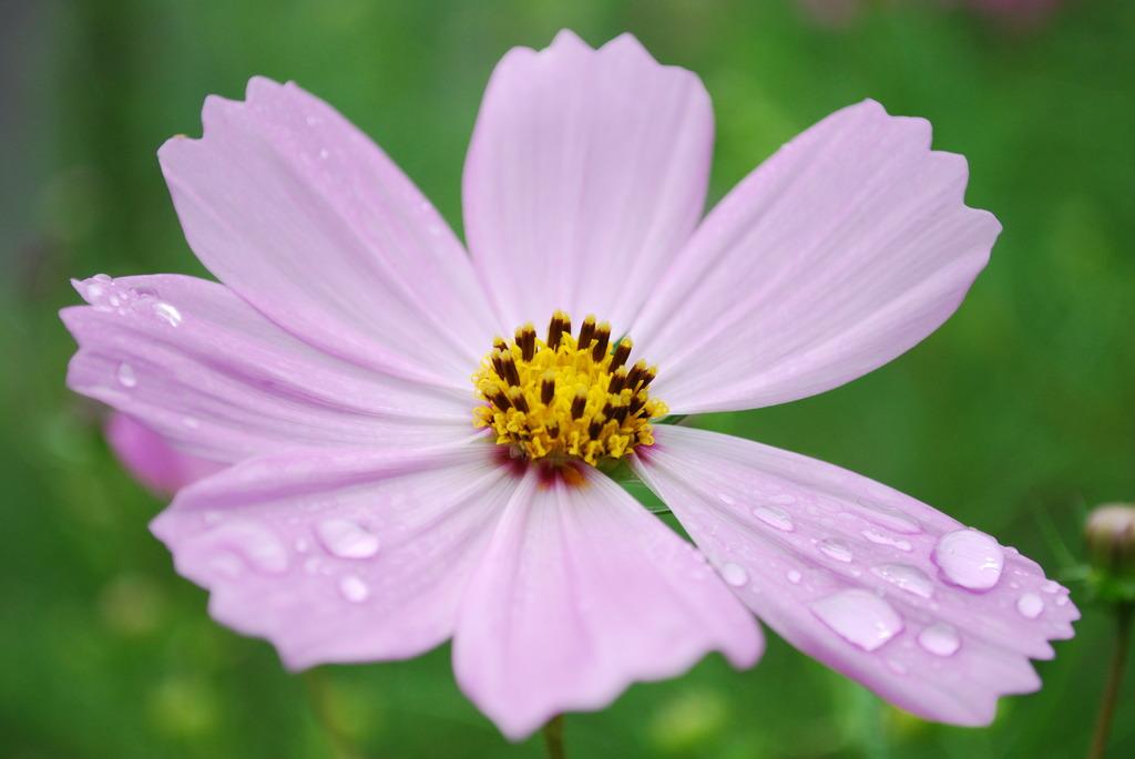 雨上がりの秋桜
