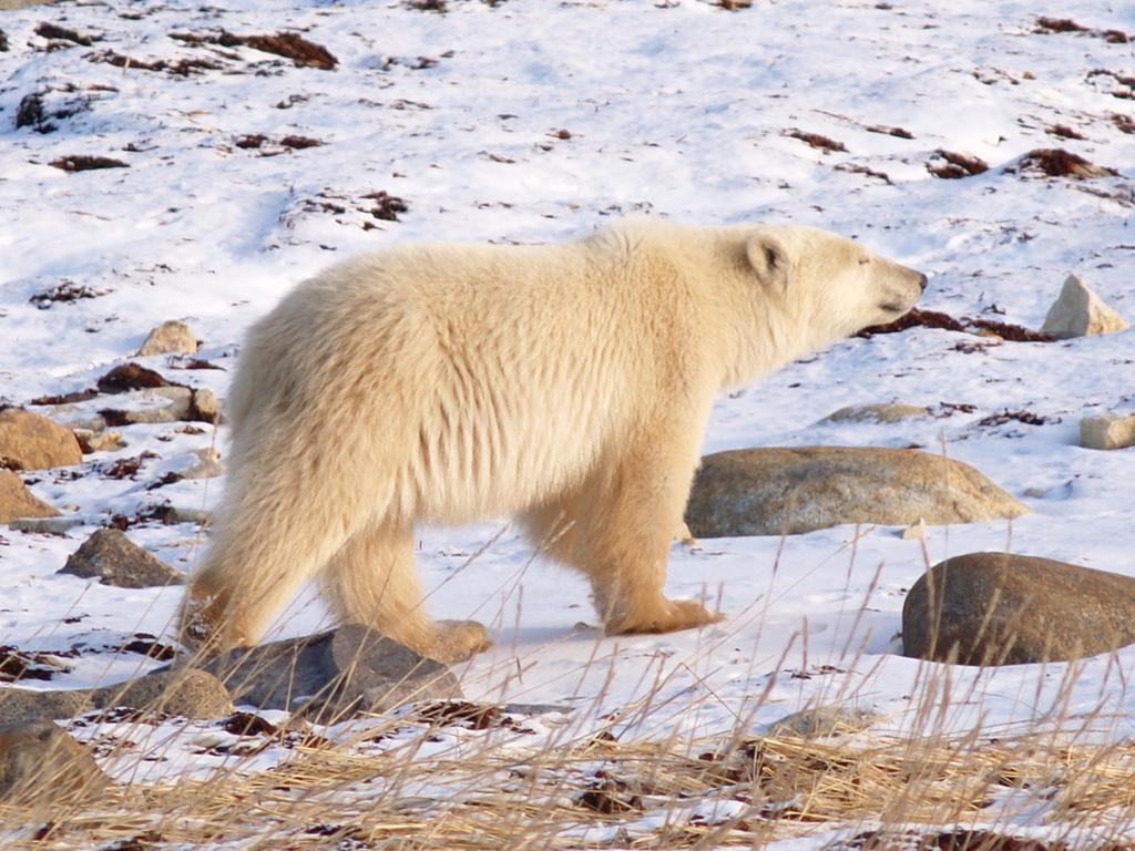 白熊 その2