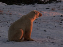白熊の見つめる先は夕日