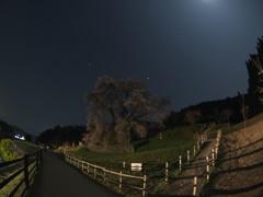 ライトと月夜の又兵衛桜