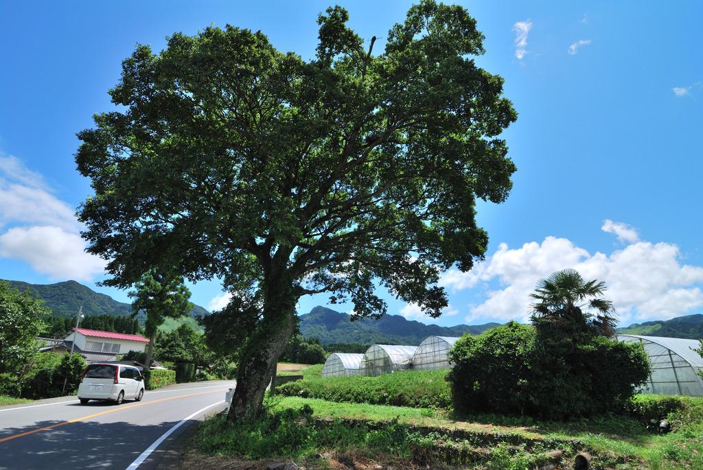 道端の老木