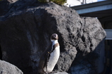 孤高のペンギン
