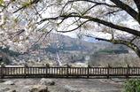 白川郷と桜