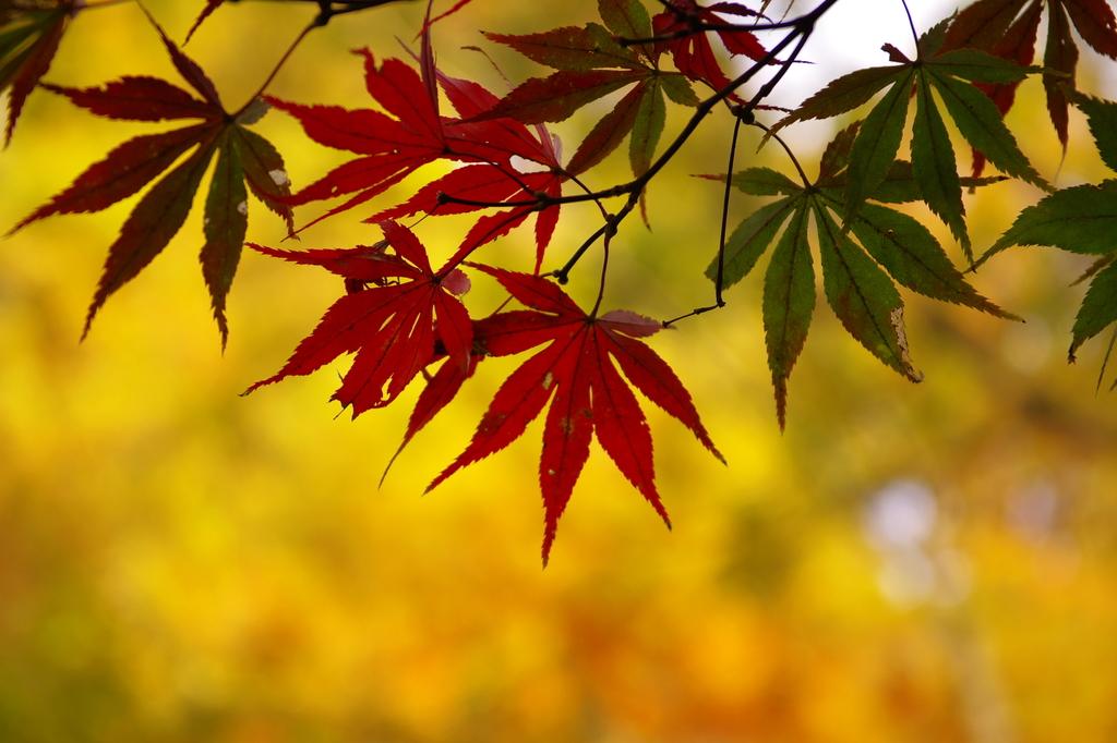紅に彩る葉