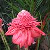 トーチジンジャーの花