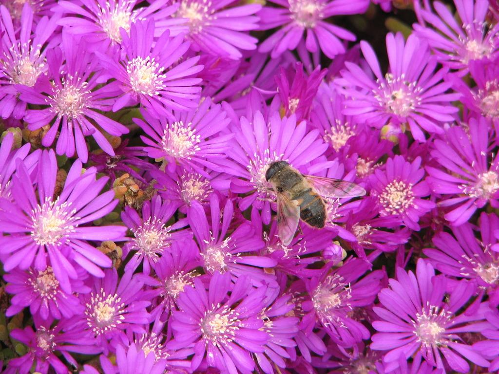 小型の松葉菊と花アブ