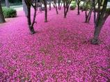サザンカの花のカーペット2