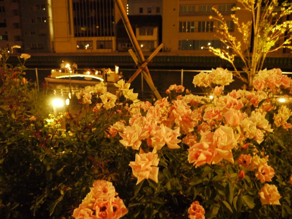 川沿いのバラ