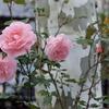 ピンクと白樺