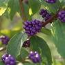 SONY DSLR-A300で撮影した植物(紫実)の写真(画像)