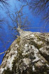 ブナの大木からパワーを