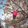 桜は、八分咲き