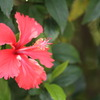 シンセンの歩道に咲く花