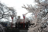 桜ショットを狙うカメラマン