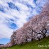 京都八幡 背割提の桜