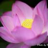 日本庭園 蓮6