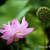 日本庭園 蓮8