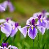 万博公園日本庭園 菖蒲1