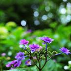 NIKON NIKON D700で撮影した(山紫陽花の微笑み)の写真(画像)